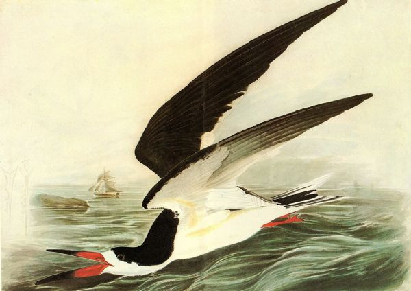 Audubon, John James: Black Skimmer. Ornithology/Bird Fine Art Print/Poster. Sizes: A4/A3/A2/A1 (001012)